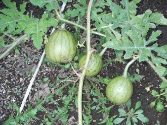 農作物の栽培